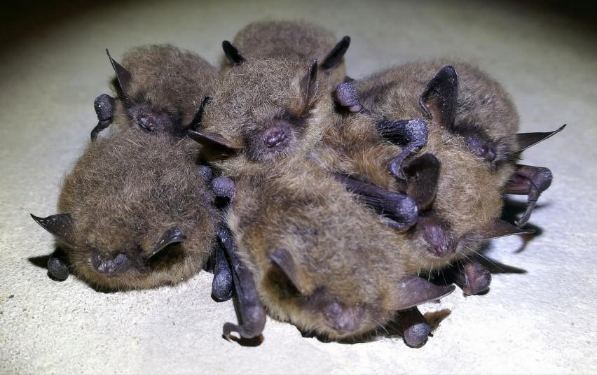 Pašiurpo dėl išgelbėto šikšnosparnio: šiems vaikams gresia mirtinas pavojus